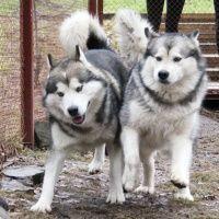 Катание на собачьей упряжке в санатории Танай